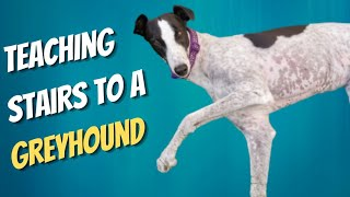 How to teach a Greyhound Stairs
