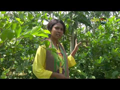 Deepto Krishi/দীপ্ত কৃষি - লিচু বাগান/বগুড়া, পর্ব ২৬০