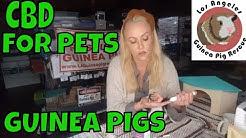 Guinea Pig Pet CBD Yes or No?