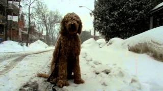 Grady The Poodle Sits Through Ottawa Snow Storm