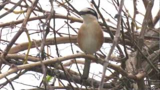 Video Masked Shrike      -   Lanius nubicus download MP3, 3GP, MP4, WEBM, AVI, FLV Juli 2018