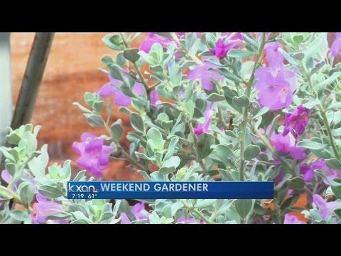 Weekend Gardener: Texas Sage