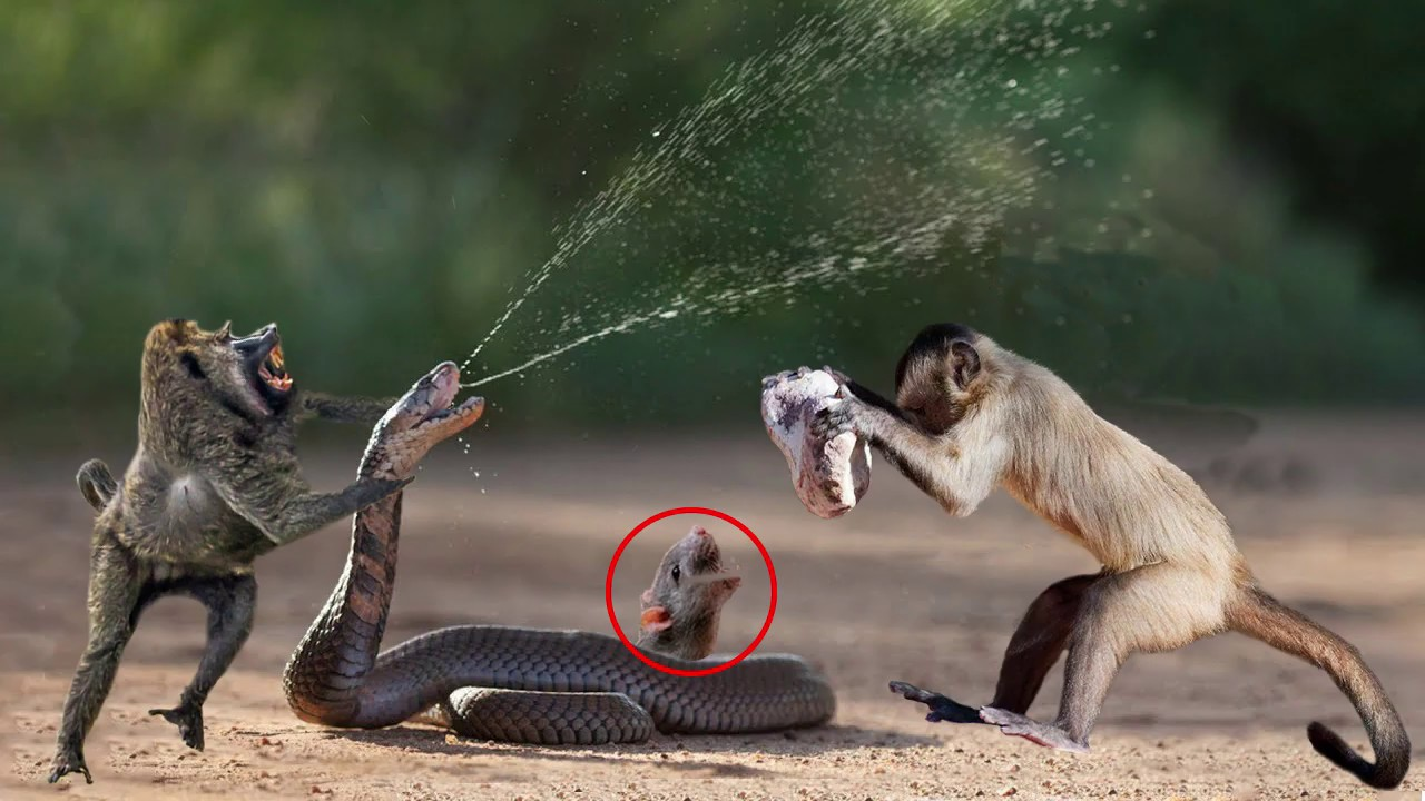 Amazingly Intelligent Monkeys Save Rodent Mouse From Snake Hunting | Prey Escapes Predato