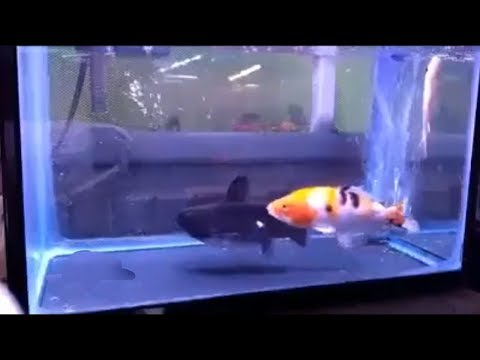 The Incredible Moment In Which One Fish Eats Another Of The Same Size