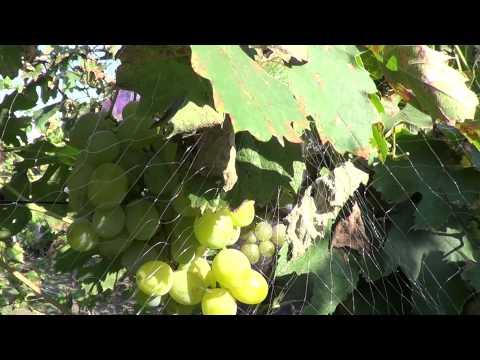 Сорта винограда. Кеша-1 (Талисман). Виноград 2014.