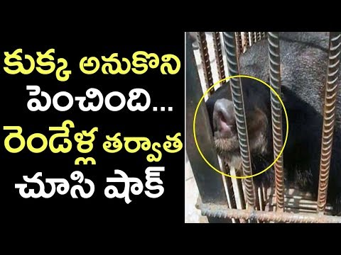 Chinese Pet Dog Turned As Wild Bear | Woman Raised Wild Bear | Interesting Videos | Tollywood Nagar