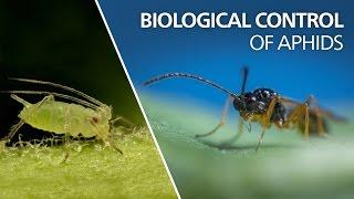 Biological control of aphids - Aphidius colemani