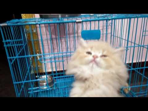 Persian Cat Price In India   Persian Cat Kitten Price In India