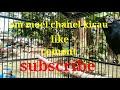 Suara Kacer Emosi Ngotot Mencari Lawan  Mp3 - Mp4 Download