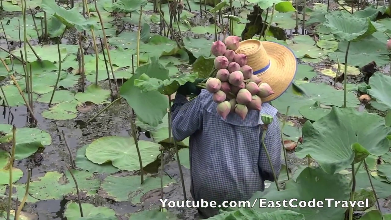 Lotus Flower Picking Thailand Youtube