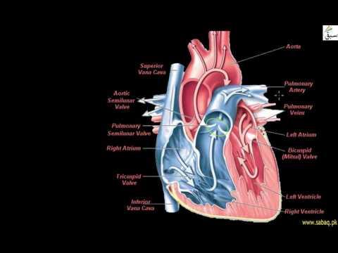Evolution of Vertebrate Heart (Birds & Mammal)