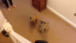 Border Terriers Howling   Let Us Sing You The Song Of Our People