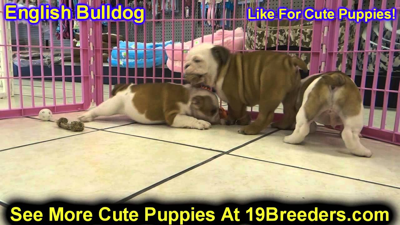 English Bulldog, Puppies, Dogs, For Sale, In Kansas City ...
