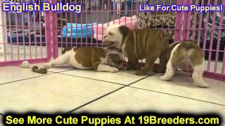 English Bulldog, Puppies, For, Sale, In, Kansas City, Missouri, Mo, Ballwin, Wentzville, University
