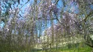和歌山県有田郡有田川町川口にある藤園。 4月下旬~5月上旬が見頃です。