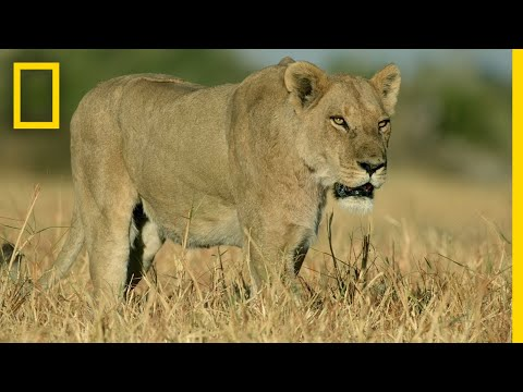 Lion Pride Hunts Water Buffalo | Savage Kingdom