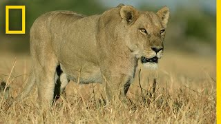 Lion Pride Hunts Cape Buffalo | Savage Kingdom