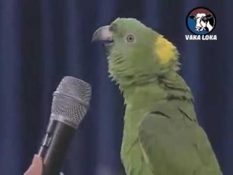 Papagaio Boca Suja Só Fala PALAVRÃO.KKKKK.