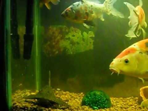 Koi aquarium feeding time youtube for Koi im aquarium