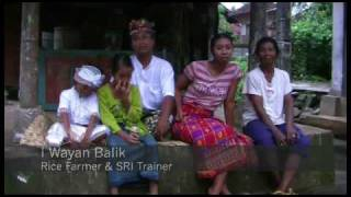 Rice Cultivation in Bali & The System of Rice Intensification (SRI)