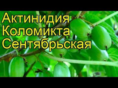 Актинидия коломикта Сентябрьская. Краткий обзор, описание actinidia kolomikta Sentyabraskaya