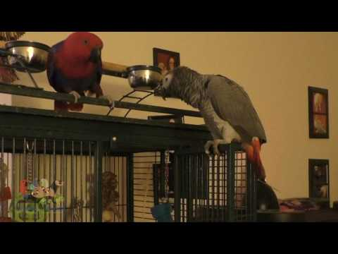 Parrot Friends: Eclectus and African Grey