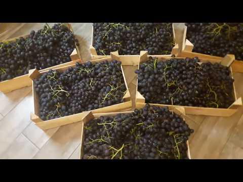 Вино из винограда! Как сделать виноградное вино? часть 1.