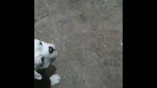 Pomeranian Scared Of A Georgia Bulldog Figurine!
