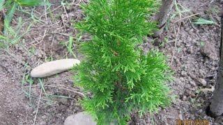 видео Биота восточная и туя западная - посадка и выращивание