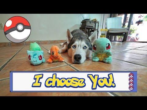 Husky Chooses His Starter Pokemon!