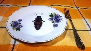 Разведение и приготовление мадагаскарских тараканов