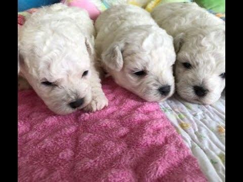 Bichon Frise Puppies - 1 Male; 2 Females - cambeas.com - 727-642-5488