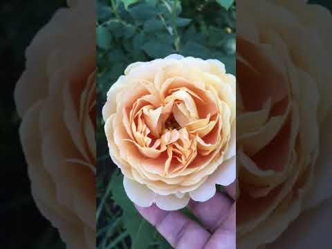 """Моя роза остинка """"Голден селебрейшн"""" Утро в саду."""