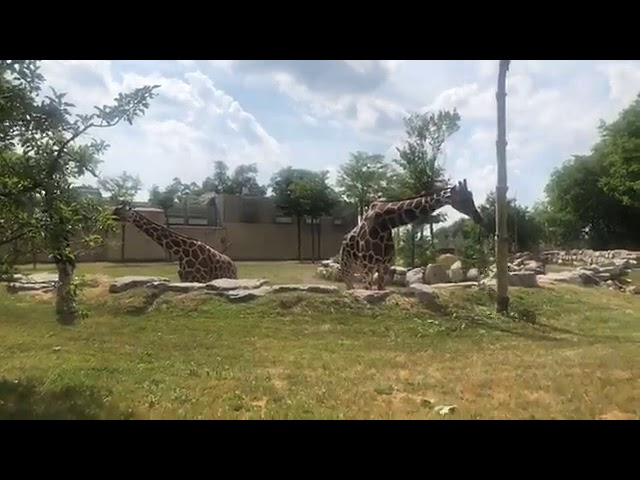 Detroit Zoo | Educational Lesson: All About Giraffes