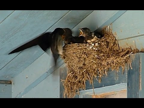 Barn Swallow Babies (Cubs) in nest -- Estonia, July 2013 ...