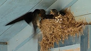 Barn Swallow Babies (Cubs) in nest -- Estonia, July 2013