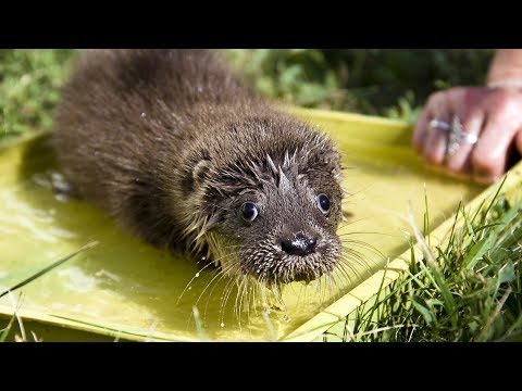 🤣 TRY NOT LAUGH 🤣 FUNNIEST ANIMAL VIDEOS – Funny Otter Compilation (2019)