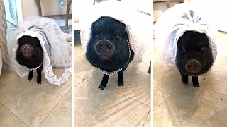 Adorable Pig Dresses As Blushing Bride