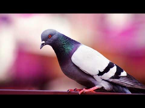 Как отучить голубей садится на подоконник, на балкон?