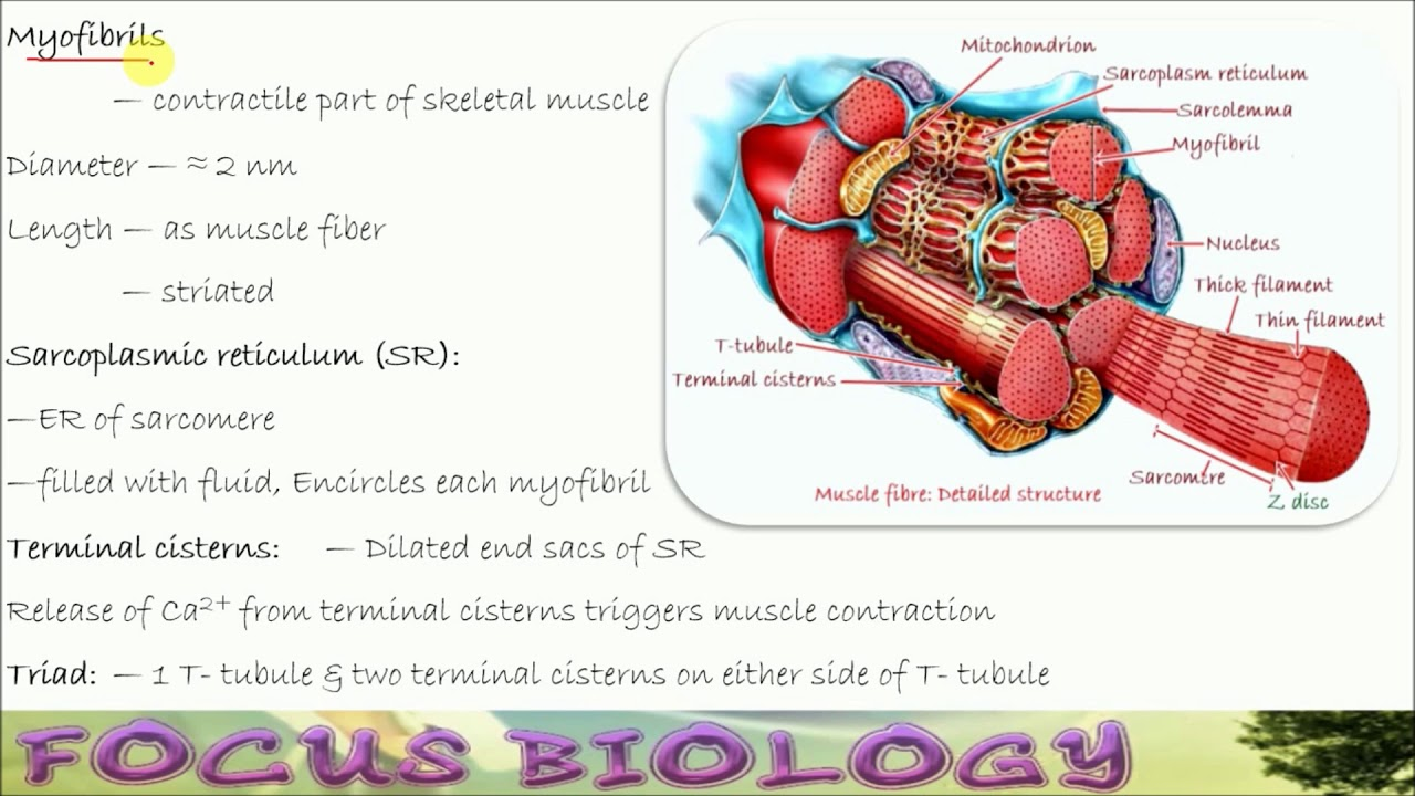 Muscle Contraction 2 1 Microscopic Anatomy Hindi Youtube