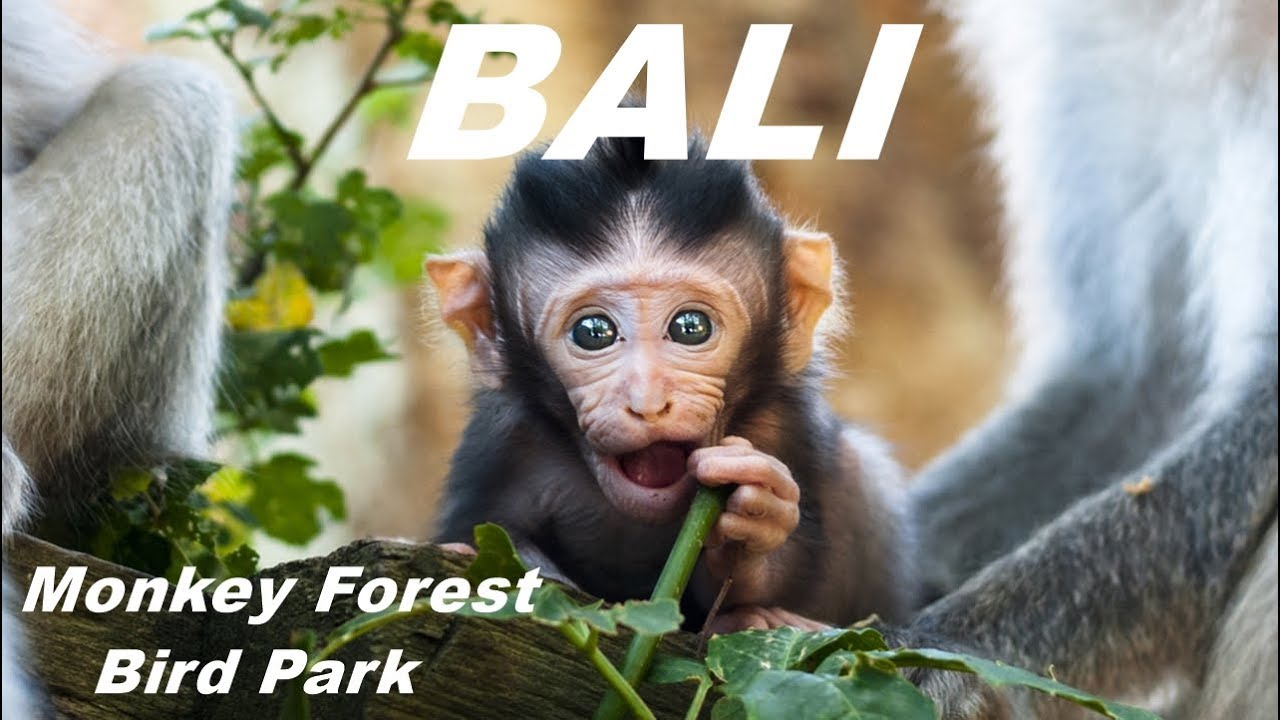 Bali Monkey Forest Bali Bird And Reptile Park Youtube