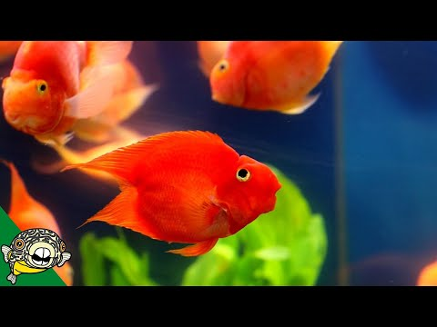 Derp Fish! Aka Blood Parrot Care Guide