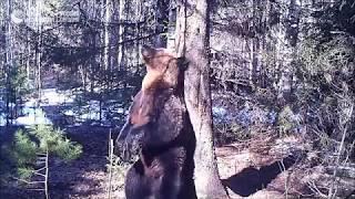 Медведь Ферапонт танцует в заповеднике
