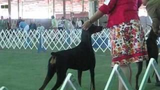 Austin Kennel Club Winner's Bitch Doberman Pinscher Ring 4-17-11