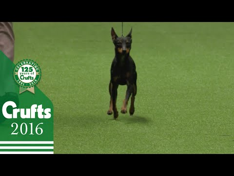 Pekingese wins the Toy Group Judging | Crufts 2016