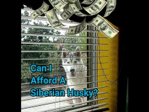 Can I Afford A Siberian Husky Puppy? Talking Husky