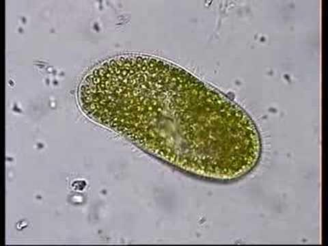 paramecium symbiotic relationship
