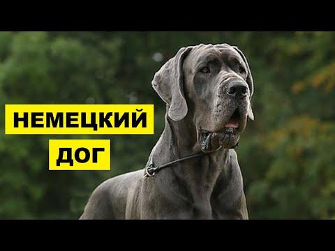 Собака Немецкий дог плюсы и минусы породы | Собаководство | Порода Немецкий дог