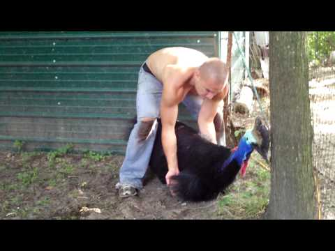 Cassowary being tamed