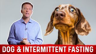 Should Your Dog do Intermittent Fasting or Not?